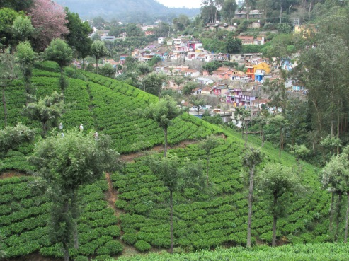 Manicured tea plantation