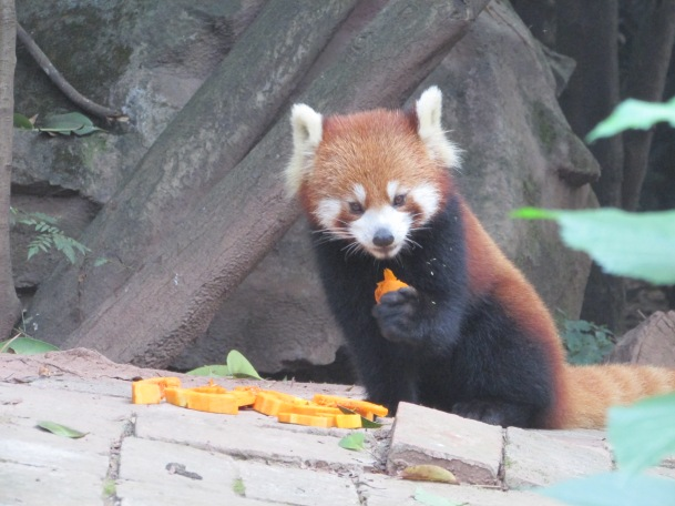 Red Pandas, really are cute