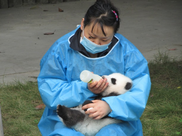 The role of Panda Handler has just been voted the best job in China....