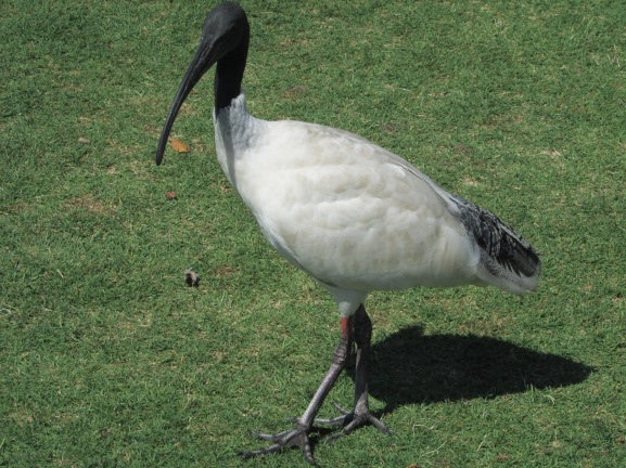 Ibis everywhere