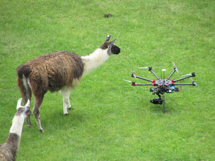 Lama meets drone