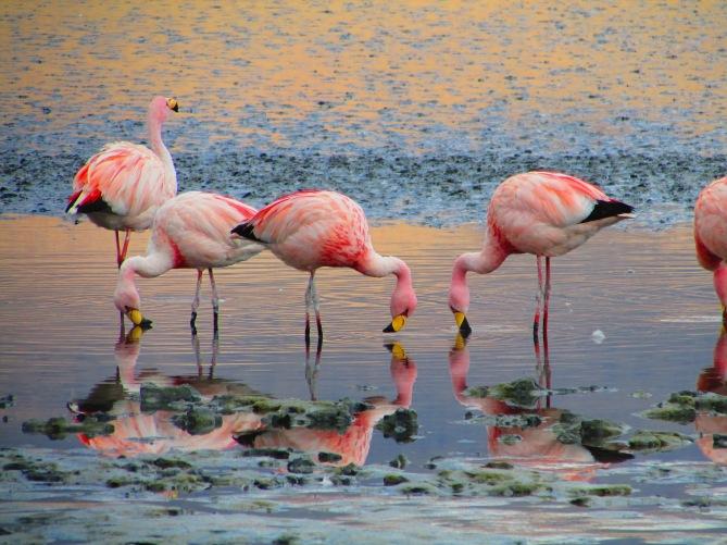 Hello James Flamingo