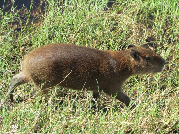 Capybara on the move